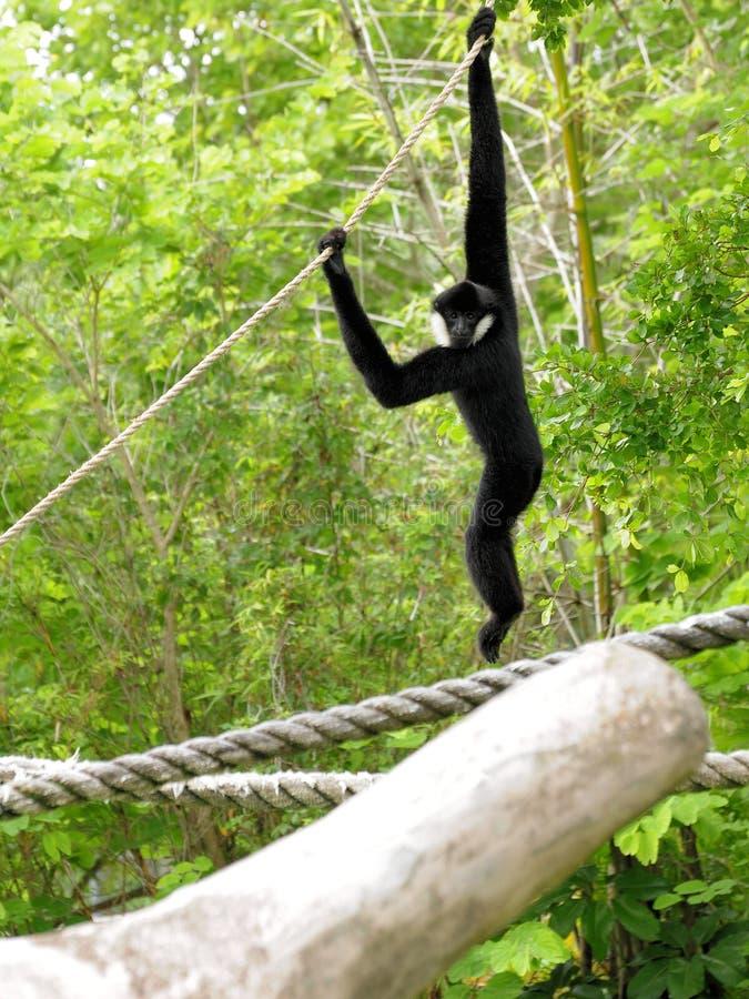 Wit-Cheeked de Aap van de Gibbon stock afbeelding