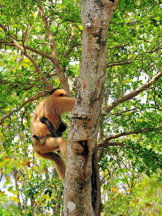 Wit-Cheeked Gibbon-aap (Nomascus) stock afbeelding