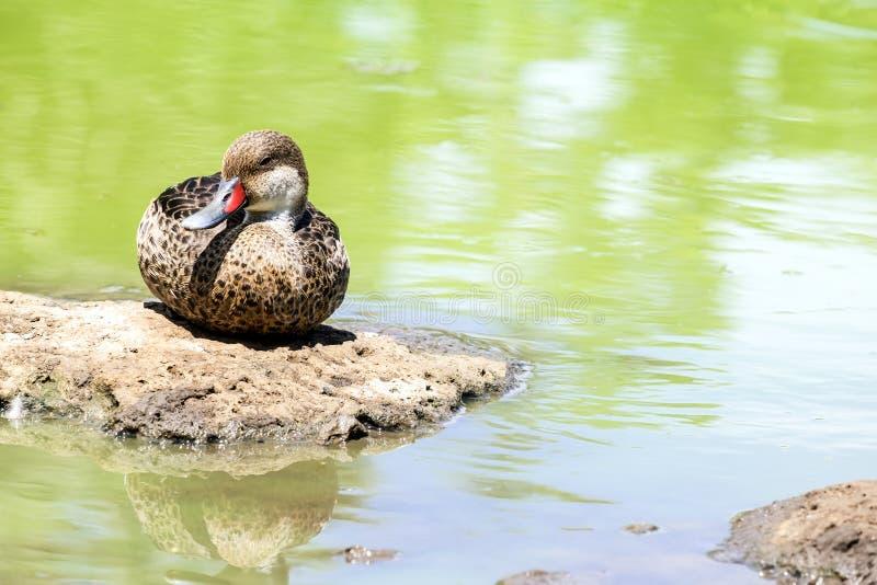 Wit-Cheeked Pijlstaart Duck Sitting door een Vijver 1 royalty-vrije stock afbeeldingen