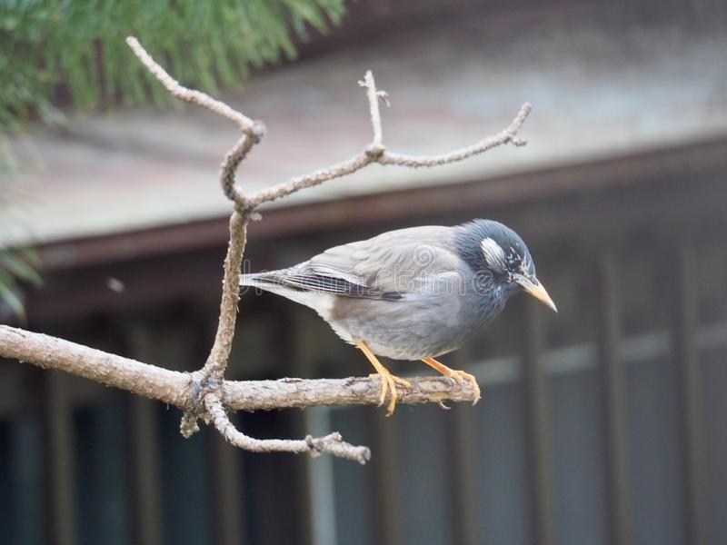 Wit-Cheeked Starling op aTree stock afbeelding
