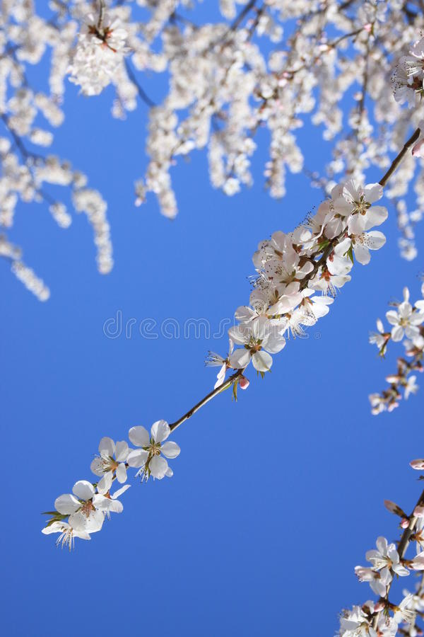 Wit Cherry Blossom royalty-vrije stock fotografie