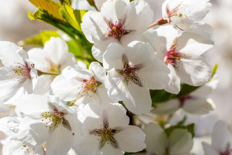 Wit Cherry Blossom stock foto's