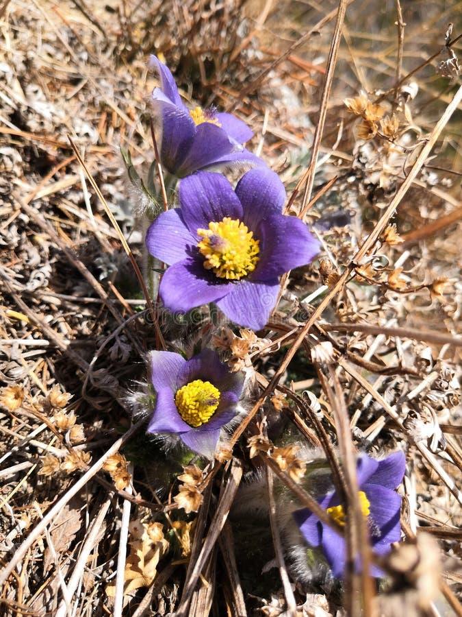 Wit de droomgras PulsatÃÂlla van de de lente eerste bloem stock foto's