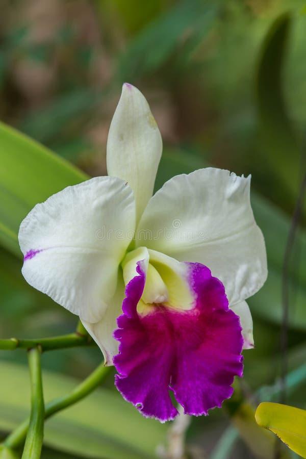 Wit - de purpere bloem van de cattleyaorchidee stock foto's