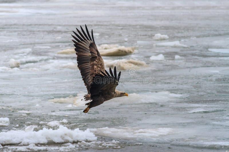 Wit De steel verwijderd van Eagle tijdens de vlucht royalty-vrije stock foto's