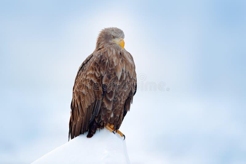 Wit-de steel verwijderde van adelaar, Haliaeetus-albicilla, Hokkaido, Japan De scène van het actiewild op ijs Vogel in aard overz royalty-vrije stock afbeelding