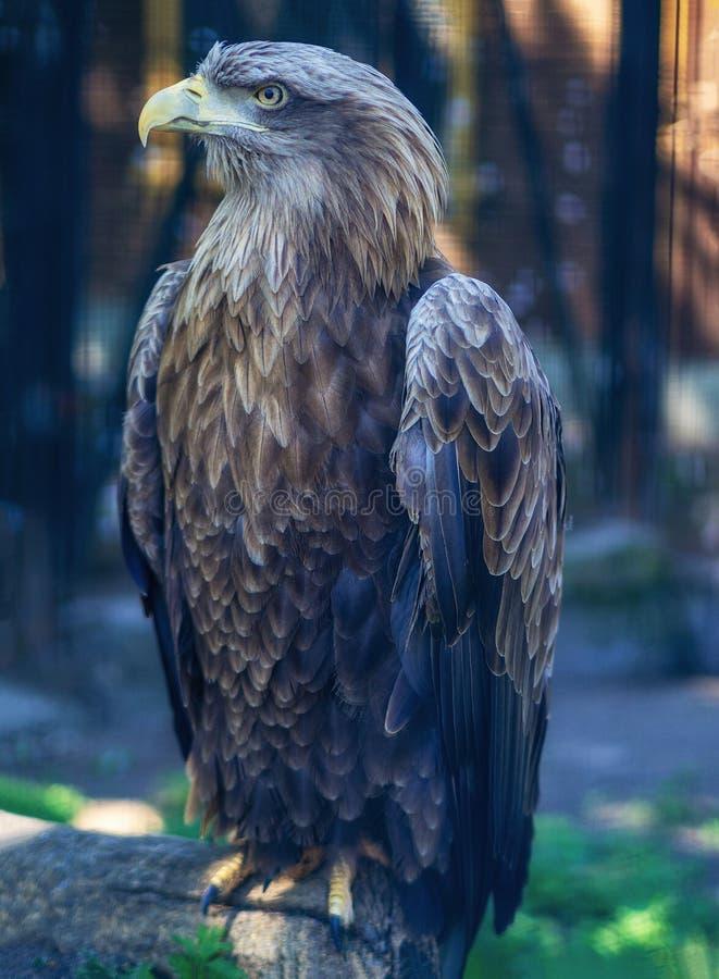 Wit-de steel verwijderde van adelaar op een boom stock foto