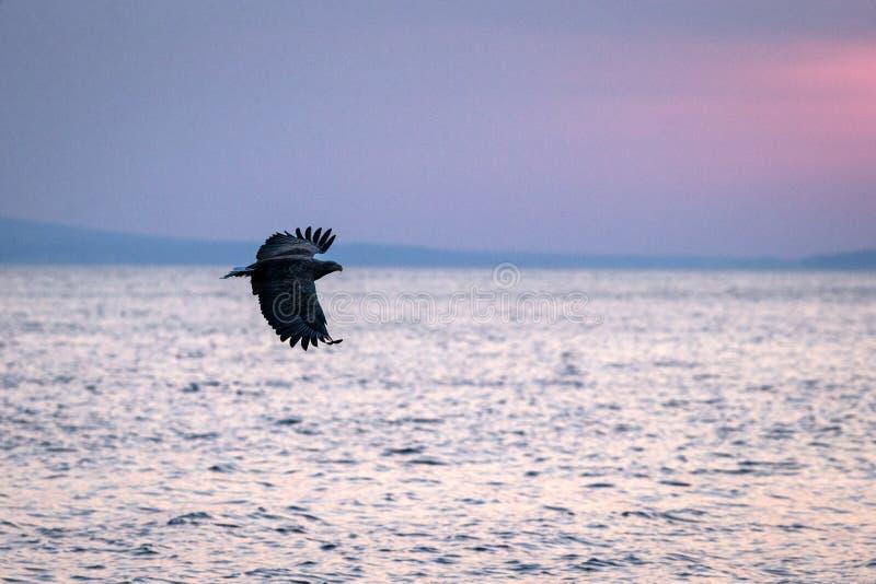 Wit-de steel verwijderde van adelaar tijdens de vlucht, adelaar die tegen roze hemel in Hokkaido, Japan, silhouet vliegen van ade stock afbeelding