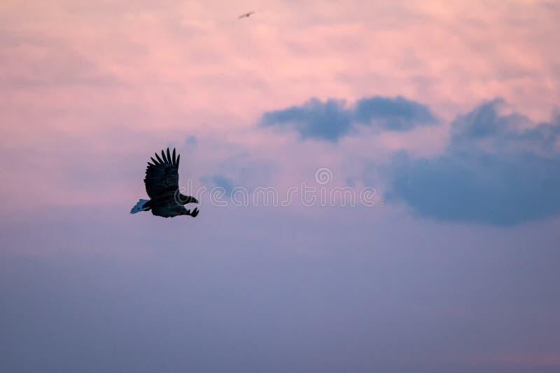 Wit-de steel verwijderde van adelaar tijdens de vlucht, adelaar die tegen roze hemel in Hokkaido, Japan, silhouet vliegen van ade royalty-vrije stock afbeelding