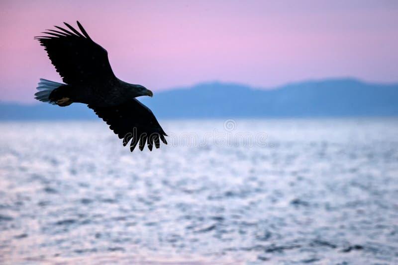 Wit-de steel verwijderde van adelaar tijdens de vlucht, adelaar die tegen roze hemel in Hokkaido, Japan, silhouet vliegen van ade royalty-vrije stock afbeeldingen