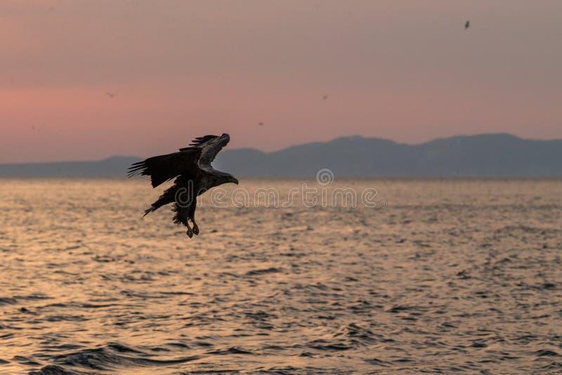 Wit-de steel verwijderde van adelaar tijdens de vlucht, adelaar die tegen roze hemel in Hokkaido, Japan, silhouet vliegen van ade stock fotografie