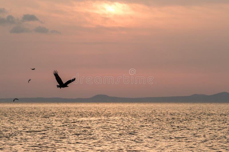 Wit-de steel verwijderde van adelaar tijdens de vlucht, adelaar die tegen roze hemel in Hokkaido, Japan, silhouet vliegen van ade royalty-vrije stock foto