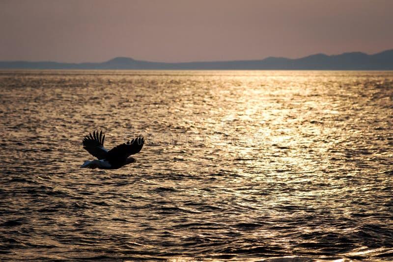 Wit-de steel verwijderde van adelaar tijdens de vlucht, adelaar die tegen roze hemel in Hokkaido, Japan, silhouet vliegen van ade stock afbeeldingen