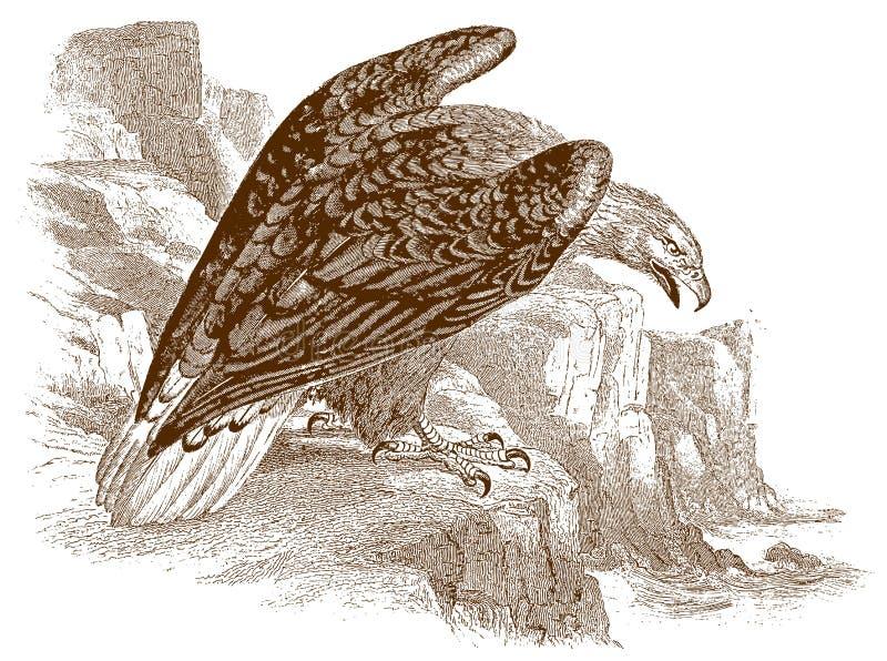 Wit-de steel verwijderde van albicillazitting van adelaarshaliaeetus op een rots, die neer aan het overzees kijken vector illustratie
