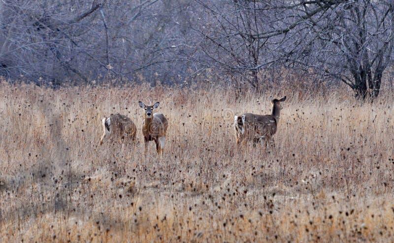 Wit-de steel verwijderde van herten in de winter op een gebied royalty-vrije stock afbeelding