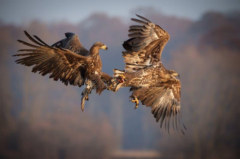 Wit-de steel verwijderde van overzeese adelaars die over voedsel vechten stock foto