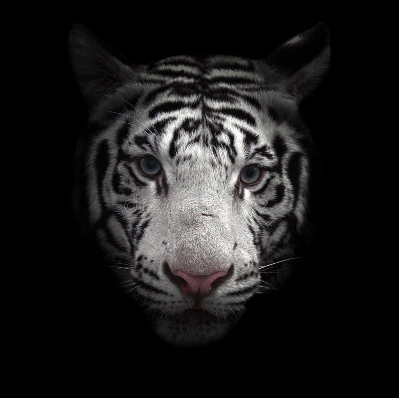Wit de tijgergezicht van Bengalen royalty-vrije stock afbeeldingen