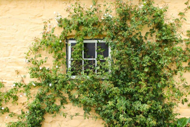 Wit die rozen beklimmen rond een plattelandshuisjevenster stock afbeeldingen