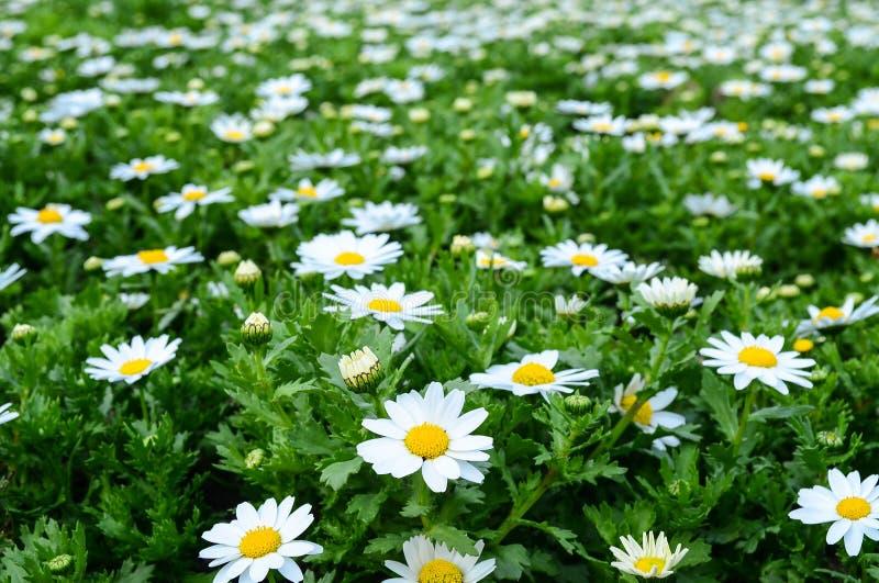 Wit edelweiss stock afbeeldingen