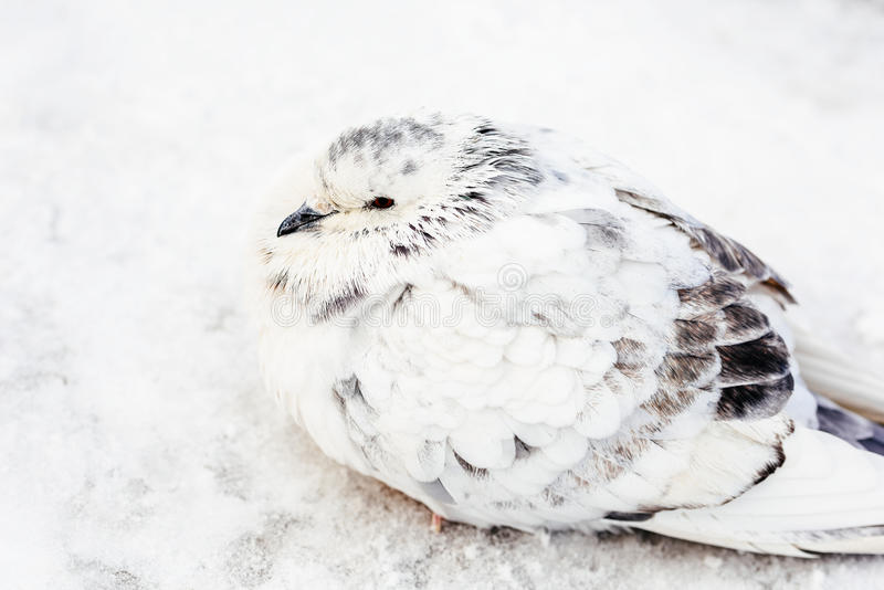 Wit en de Koude Winter van Gray Pigeon Bird Freezing In stock fotografie