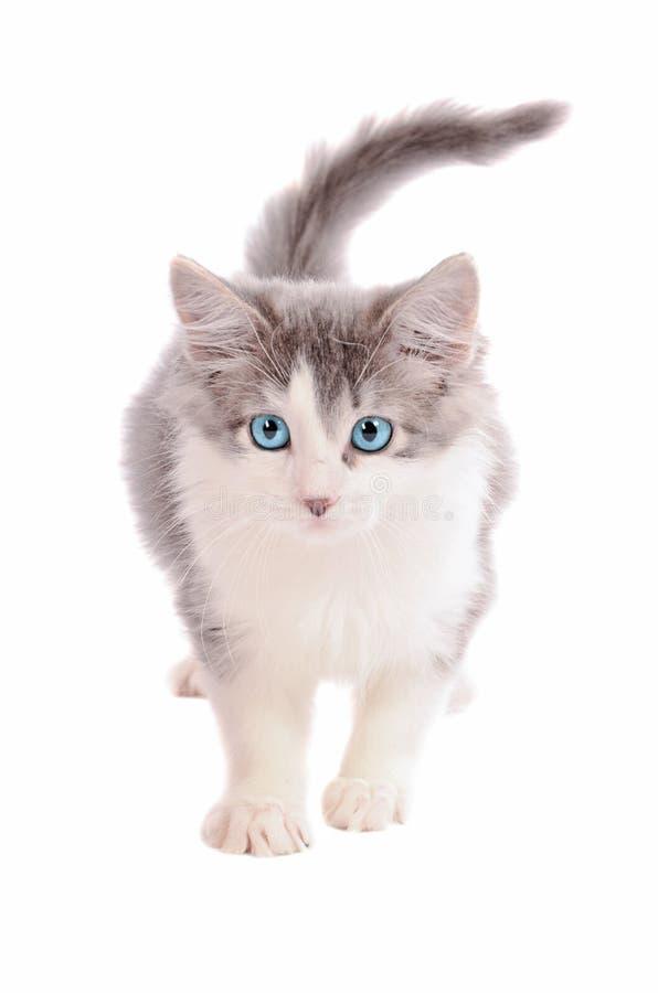 Wit en Grey Kitten stock afbeelding
