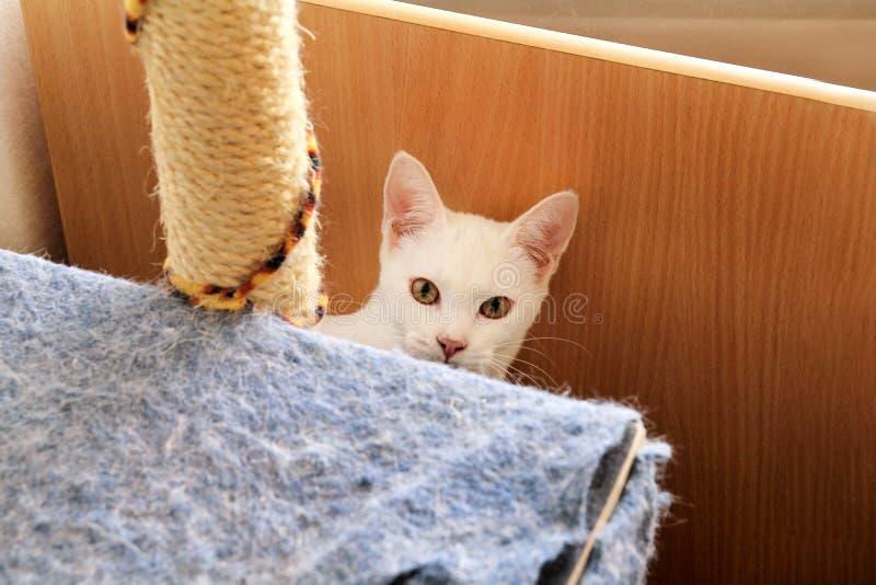 Wit en kattenportret die thuis liggen ontspannen Sluit omhoog van witte katjeskat binnenshuis Leuke mooi weinig pot stock fotografie