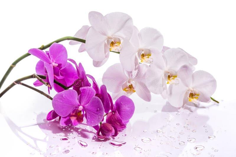 Wit en roze met bezinning over witte achtergrond royalty-vrije stock afbeelding