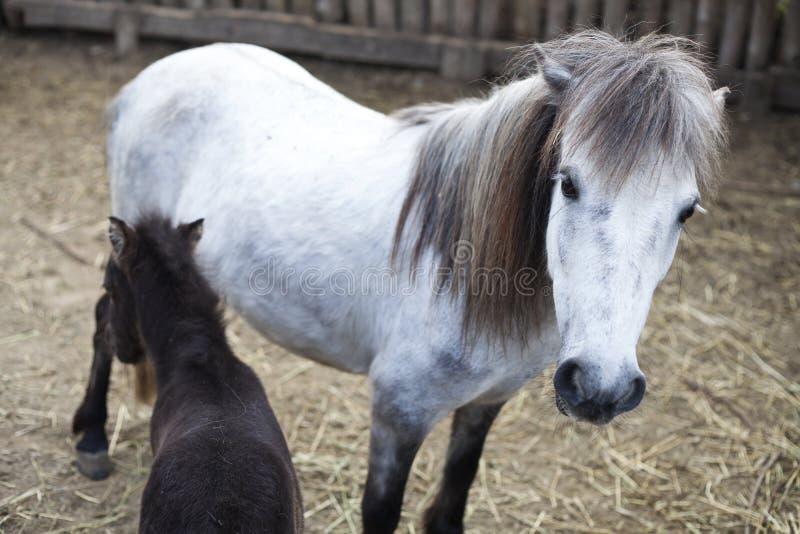 Wit en zwart poneyveulen royalty-vrije stock fotografie