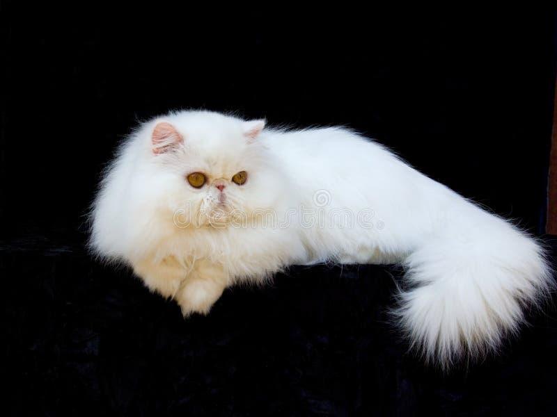 Wit exotisch Perzisch de katten zwart fluweel van het koperoog stock fotografie
