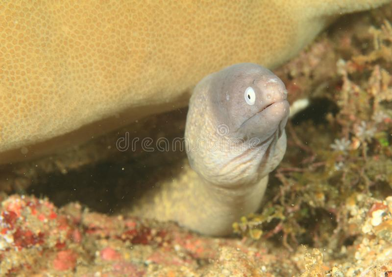 Wit-eyed moray stock foto's