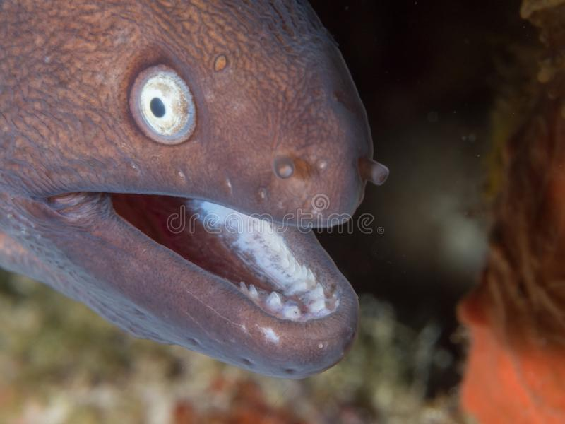 Wit-eyed moray paling stock afbeelding
