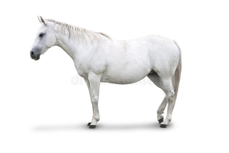 Wit Geïsoleerd$ Paard stock afbeeldingen