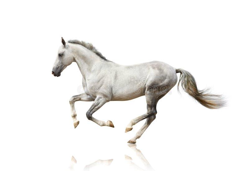 Wit geïsoleerdn paard royalty-vrije stock afbeeldingen