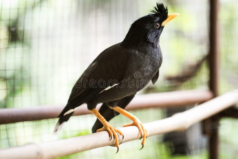 Wit-geluchte javanicus van mynaacridotheres, zwarte kuifvogel stock afbeelding
