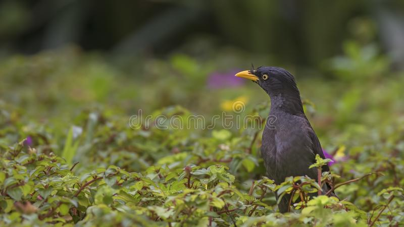 Wit-geluchte Myna Among Weed royalty-vrije stock fotografie