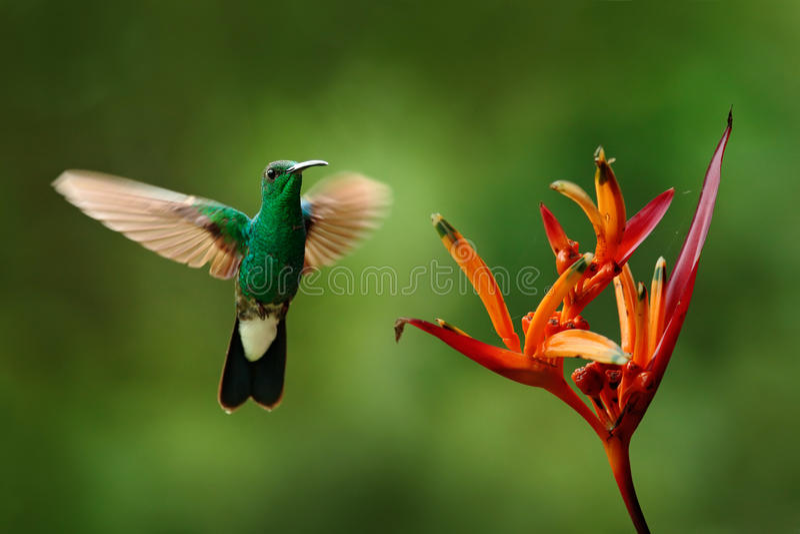 Wit-geluchte Plumeleteer, Chalybura-buffonii, groene kolibrie van Colombia, groene vogel die naast mooie rode bloem vliegen met stock afbeeldingen