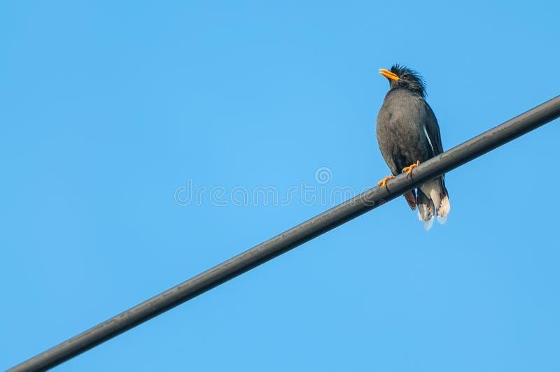 Wit-geluchte zwarte de vogelzitting van Myna op een kabel van Thailand royalty-vrije stock foto