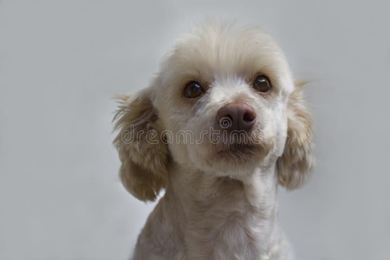 Wit hondportret Frans poedel wit mannetje stock foto