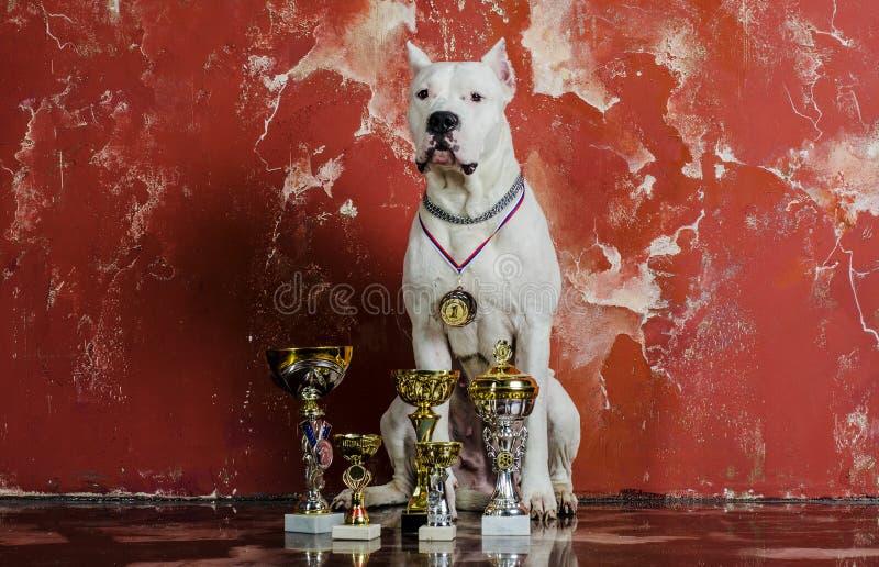 Wit hondras Dogo Argentino, naast hun toekenning stock foto's