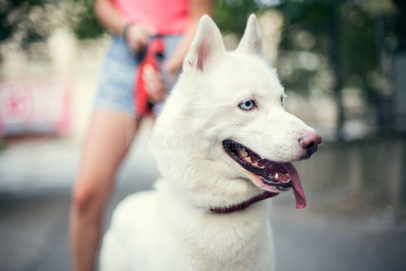 Wit Husky Puppy Eskimo Dog Staying dichtbij Eigenaar Openlucht stock foto