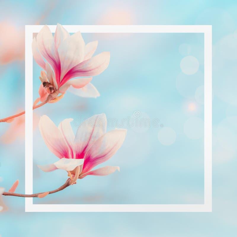 Wit kader bij de achtergrond van de de lenteaard met magnolia die bij blauwe hemel met bokeh bloeien De lentelay-out De bloesem v stock afbeeldingen