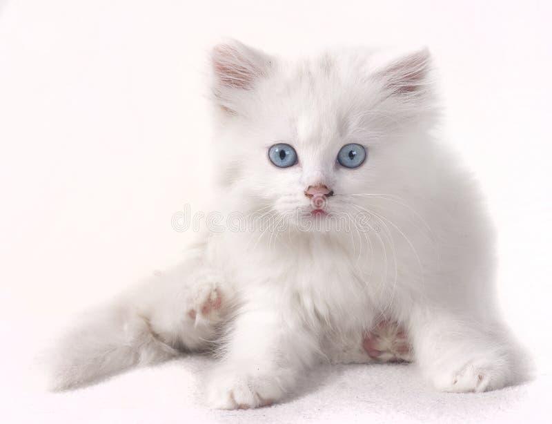 Wit katje stock afbeelding