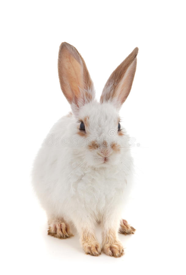 Wit klein konijn stock afbeelding