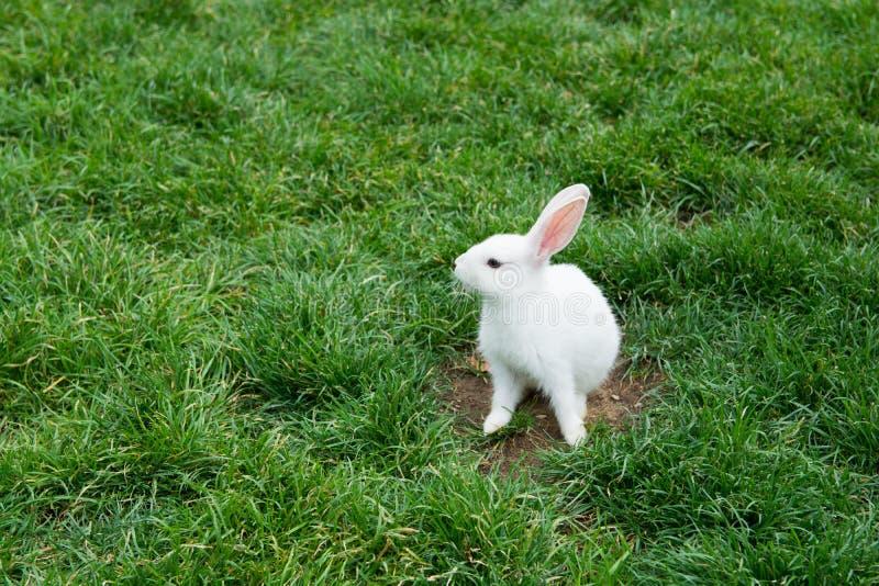 Download Wit konijn stock afbeelding. Afbeelding bestaande uit huid - 107701225