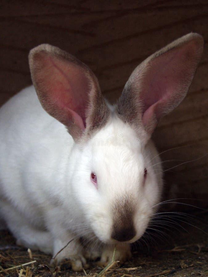 Wit konijn royalty-vrije stock foto