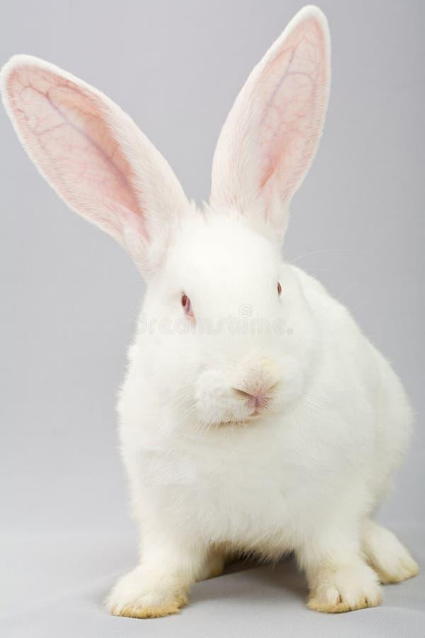 Wit konijn op een grijze achtergrond royalty-vrije stock afbeelding