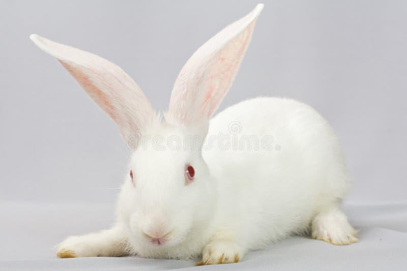 Wit konijn op een grijze achtergrond royalty-vrije stock fotografie