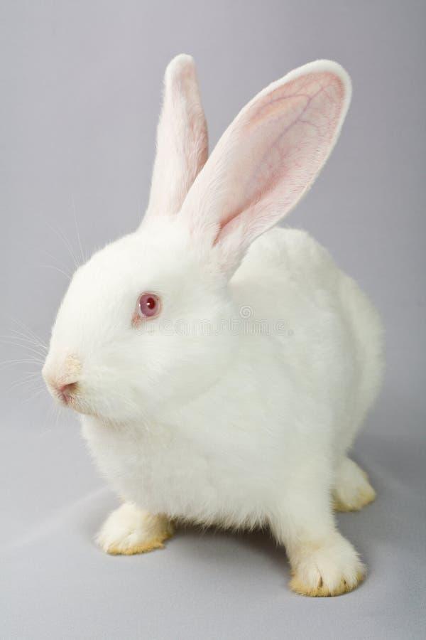 Wit konijn op een grijze achtergrond royalty-vrije stock afbeeldingen