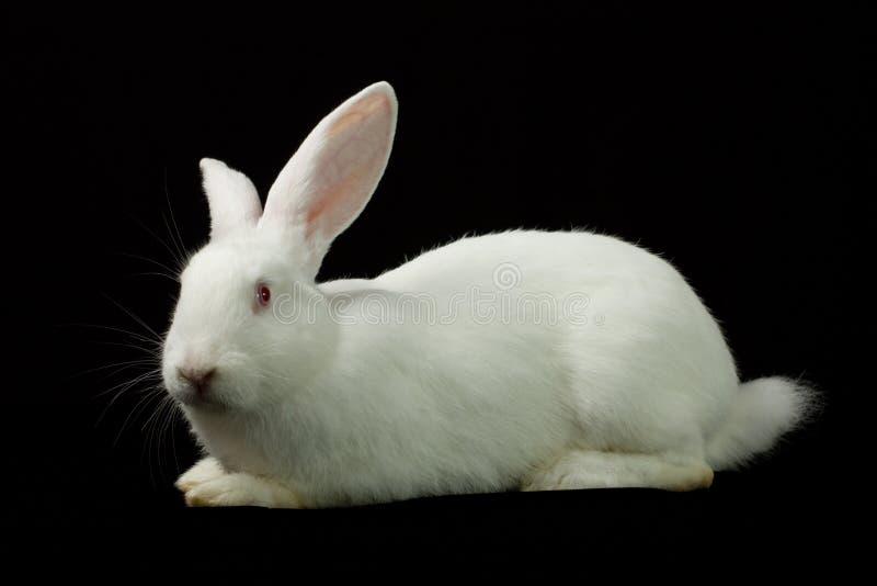 Wit konijn op een zwarte achtergrond stock afbeeldingen