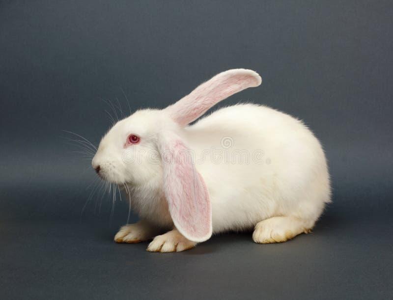 Wit konijn op grijze achtergrond stock fotografie
